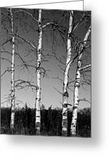 Four Naked Birches Bw Greeting Card