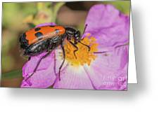 Four-spotted Blister Beetle - Mylabris Quadripunctata Greeting Card