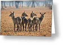 Four Waterbucks Greeting Card
