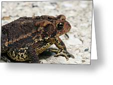 Fowler's Toad #2 Greeting Card