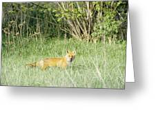 Fox In Meadow Greeting Card