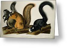 Fox Squirrel Greeting Card by John James Audubon