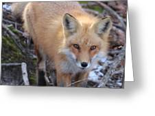 Fox Stare Greeting Card