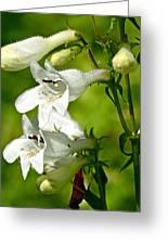 Foxglove Beardtongue - Penstemon Digitalis Greeting Card