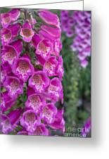 Foxgloves 1 Greeting Card
