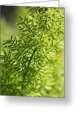 Foxtail Fern In Spring Greeting Card