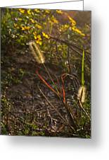 Foxtail Glowing In Sun Greeting Card