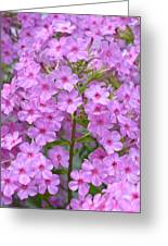 Fragrant Phlox Greeting Card