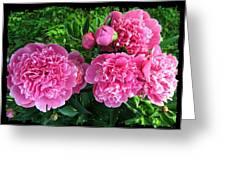 Fragrant Pink Peonies Greeting Card