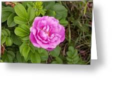Fragrant Rugosa Greeting Card