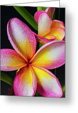 Frangipani After The Rain Greeting Card