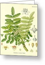 Frankincense Greeting Card