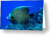 French Angelfish Greeting Card