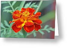 French Marigold Greeting Card
