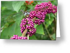 French Mulberry Greeting Card