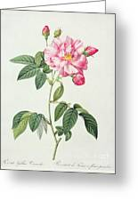 French Rose Greeting Card by Pierre Joseph Redoute