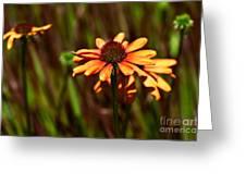 Fresh Echinachea Greeting Card