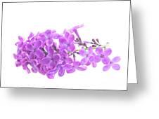 Fresh Lilac Greeting Card