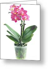 Fresh Pink Orchid In Pot Greeting Card