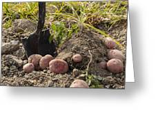 Fresh Red Potatoes On Ground Greeting Card