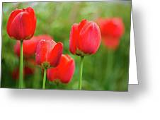 Fresh Spring Tulips Flowers With Water Drops In The Garden  Greeting Card