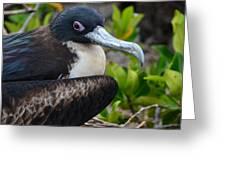 Frigate Bird In Nature Greeting Card