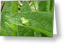 Frog In Comfrey Greeting Card