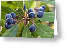 Fruit And Leaves Of The Red Bay Greeting Card