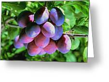 Fruit Plums  On Tree Greeting Card