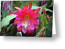 Fuchia Cactus Flower Greeting Card by Douglas Barnett