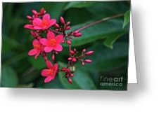 Jatrohpa Bush Blooms Greeting Card