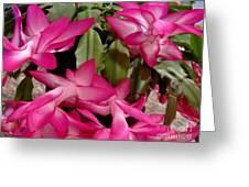 Fuchsia Christmas Cactus Greeting Card