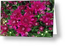 Fuchsia Mums Greeting Card