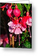 Fuchsias With Droplets Greeting Card