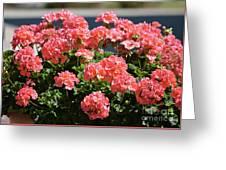 Full Bloom Geraniums  Greeting Card