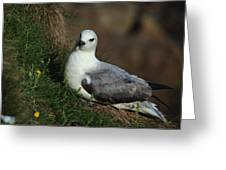 Fulmar Nesting On Cliff Greeting Card