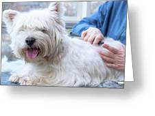 Funny View Of The Trimming Of West Highland White Terrier Dog Greeting Card