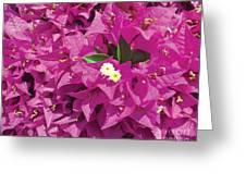Fushia Furry Greeting Card