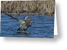 Gadwall Landing Greeting Card