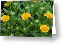 Gaillardia Arizona Apricot Greeting Card