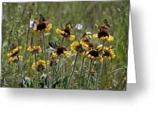 Gaillardia/blanket Flower Butterflies Greeting Card