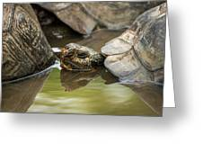 Galapagos Giant Tortoise In Pond Behind Another Greeting Card