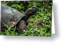 Galapagos Giant Tortoise In Profile In Woods Greeting Card