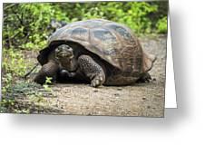 Galapagos Giant Tortoise Walking Down Gravel Path Greeting Card