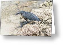 Galapagos Heron In Santa Cruz Island, Galapagos. Greeting Card