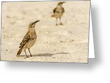 Galapagos Hood Mockingbird Greeting Card