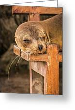 Galapagos Sea Lion Sleeping On Wooden Bench Greeting Card
