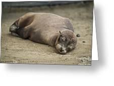 Galapagos Sea Lion Sleeps On Sandy Beach Greeting Card