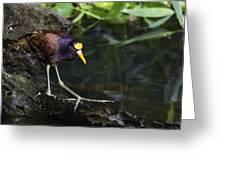 Gallinule Greeting Card