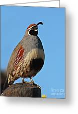Gambel's Quail On Sunny Perch Greeting Card